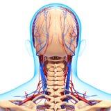 Cirkulations- system av det mänskliga huvudet arkivfoton