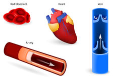 Cirkulations- system eller kardiovaskulärt system stock illustrationer