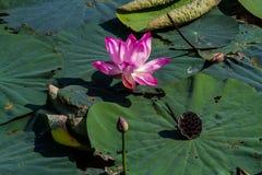 Cirkulering av lotusblomma royaltyfri foto