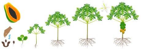 Cirkulering av tillväxt av en papayaväxt på en vit bakgrund stock illustrationer
