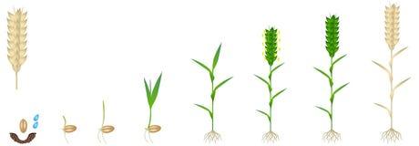 Cirkulering av tillväxt av en veteväxt på en vit bakgrund stock illustrationer