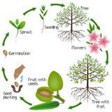 Cirkulering av tillväxt för mandelträd på en vit bakgrund royaltyfri illustrationer