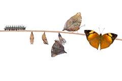 Cirkulering för Autumn Leaf fjärilsliv arkivbild