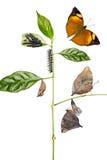 Cirkulering för Autumn Leaf fjärilsliv arkivbilder