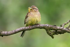 Cirl Bunting. Female Cirl Bunting (Emberiza cirlus) with worms in her beak Royalty Free Stock Photography
