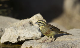 Cirl Bunting. Is perching on a piece of rock royalty free stock photography