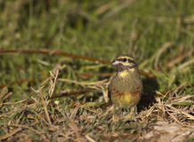 Cirl Bunting Stock Images