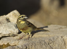 Cirl Bunting. Is perching on a piece of rock royalty free stock image