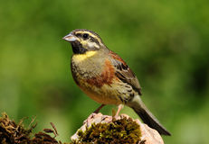 Cirl Bunting Stock Photography