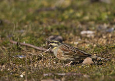 Cirl Bunting Eating Seed. A cirl bunting is eating seeds royalty free stock photos
