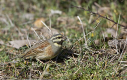 Cirl Bunting Eating Seed. A cirl bunting is eating seeds royalty free stock photography