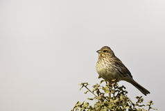 Cirl Bunting Eating Seed. A cirl bunting is perching on a piece of bush Stock Photos