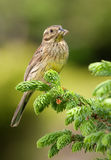 Cirl Bunting (Emberiza cirlus) Royalty Free Stock Photo