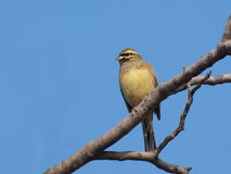 Cirl Bunting, Emberiza cirlus Royalty Free Stock Images