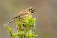 Cirl Bunting - Emberiza cirlus. Sitting on the branch Stock Photography