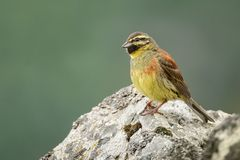 Cirl Bunting - Emberiza cirlus. Sitting on the rock Royalty Free Stock Photography