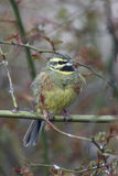 Cirl bunting, Emberiza cirlus Royalty Free Stock Photography