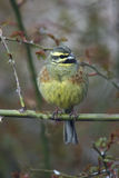 Cirl bunting, Emberiza cirlus Stock Photo