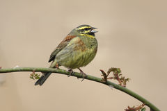 Cirl bunting, Emberiza cirlus Royalty Free Stock Photos