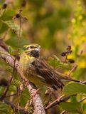 Cirl Bunting on branch Royalty Free Stock Images