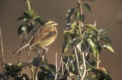 Cirl bunting, Emberiza cirlus. Single bird on branch, Devon Royalty Free Stock Photography
