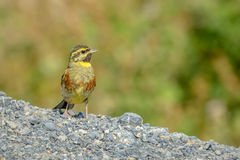 Cirl Bunting - Emberiza cirlus. Sitting on the ground Royalty Free Stock Photos