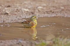 Cirl bunting, Emberiza cirlus in the water Royalty Free Stock Photos