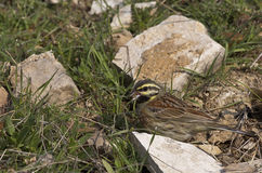 Cirl Bunting Feeding (Miliaria calandra). A cirl bunting is feeding on grass royalty free stock photography