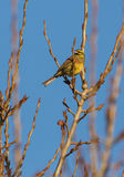 Cirl Bunting. A male Cirl Bunting (Emberiza cirlus) perching on a sprouting poplar tree in winter Stock Photo