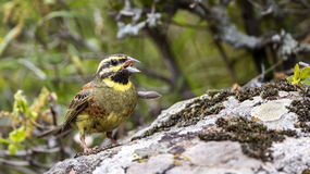 Cirl Bunting on Rock Stock Images