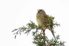 Cirl Bunting Singing. A Cirl Bunting (Emberiza cirlus) singing on the top of a tree Royalty Free Stock Images