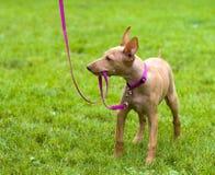 Cirneco brincalhão Dell'Etna, filhote de cachorro siciliano do Hound Fotografia de Stock