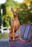 Cirneco dell etna dog on a bench Royalty Free Stock Photo