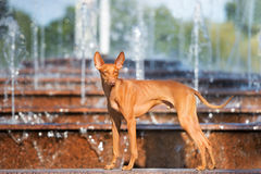 Cirneco dell etna dog at a fountain. Cirneco dell etna dog posing outdoors Royalty Free Stock Images