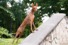 Cirneco dell etna dog outdoors Stock Photography