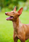 Cirneco dell etna dog. Outdoors in summer Royalty Free Stock Images