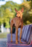Cirneco dell etna dog standing on a bench. Cirneco dell etna dog posing outdoors Royalty Free Stock Photography