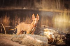 Cirneco dog. Small puppy looks at the camera Royalty Free Stock Image