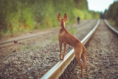 Puppy cirneco stands on the railway. Cirneco stands on the railway  looking looks afar Royalty Free Stock Images