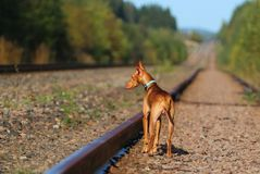 Puppy cirneco stands on the railway. Cirneco stands on the railway looks to the left Royalty Free Stock Images
