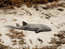 Cirratum del Ginglymostoma del tiburón de enfermera Imagen de archivo
