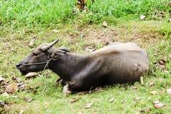 Ciérrese encima de búfalo en potrait en la charca y el campo Imagen de archivo libre de regalías