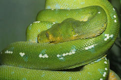 Ciérrese encima de fauna de la serpiente verde Imágenes de archivo libres de regalías