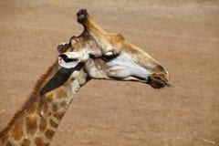 Ciérrese encima de la cabeza de la jirafa Fotografía de archivo