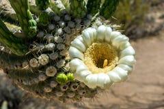 Ciérrese encima de la flor del cactus del Saguaro Imagen de archivo