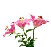 Ciérrese encima de la flor del lirio en el fondo blanco Fotos de archivo libres de regalías