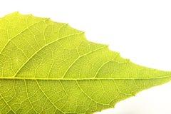 Ciérrese encima de la textura de la hoja de la nuez Imagen de archivo libre de regalías