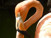 Ciérrese encima de pájaro del flamenco Foto de archivo libre de regalías