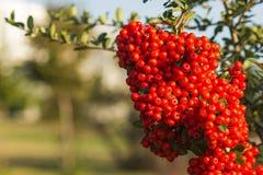 Ciérrese encima de un arbusto rojo de Coccina del Pyracantha de la baya Imagenes de archivo