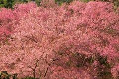 Ciérrese encima del arbusto de la flor de Sakura Fotografía de archivo